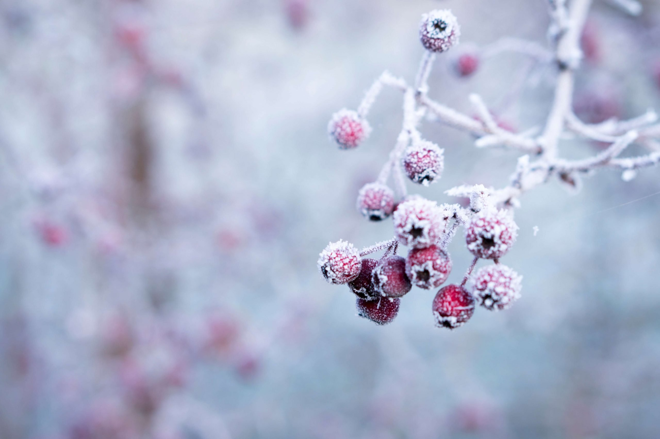 cold berries representing winter months
